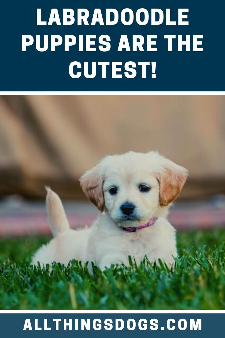 Labradoodle Puppies Mini Labradoodle Puppy Labradoodle Puppy Labradoodle