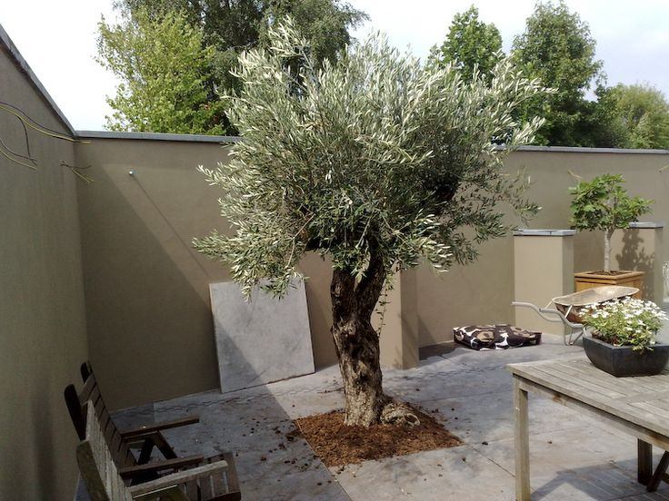 Olijfboom Specialist   Winterharde olijfbomen koopt u bij de Olijfboom Specialist in Overloon - Impressie