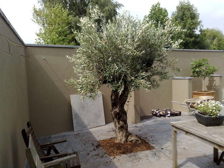 Olijfboom Specialist | Winterharde olijfbomen koopt u bij de Olijfboom…