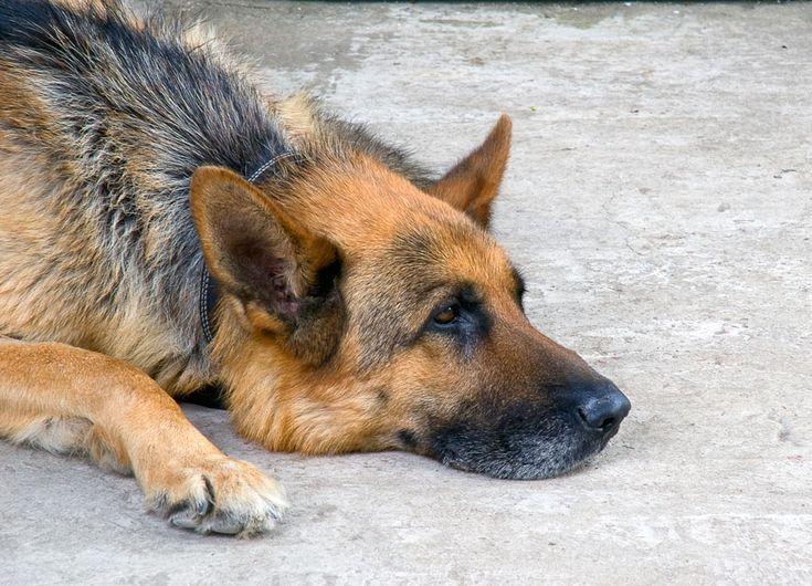 Honden worden vaak omschreven als 'de beste vriend van de mens'. Een nieuwe studie lijkt die omschrijving te versterken. Volgens een onderzoeksteam van de University of Arkansas for Medical Sciences (UAMS) kan reddingshond Frankie schildklierkanker vaststellen op basis van de urine van een...