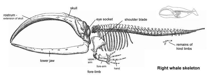 Gray Whale Skeleton Diagram Schematics Wiring Diagrams