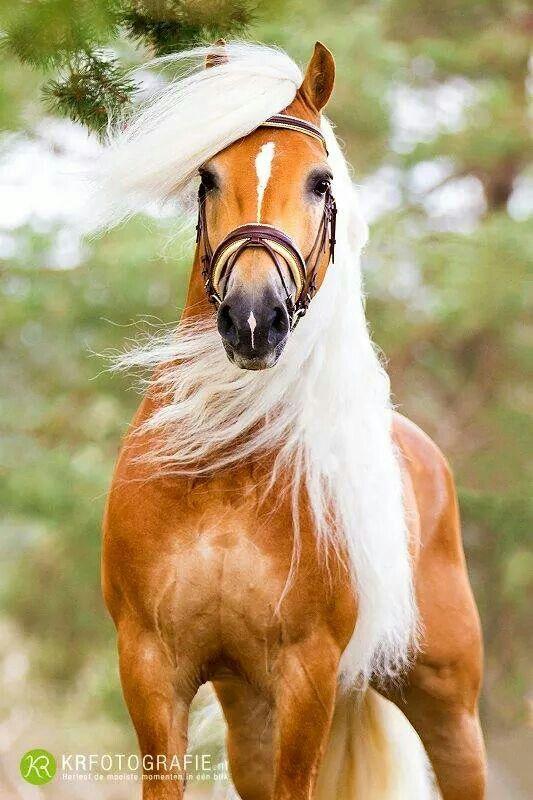 Super cute Haflinger! This horse is having a good hair day!