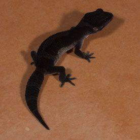43 best Leopard Gecko Breeding Animals images on Pinterest ... - photo#27