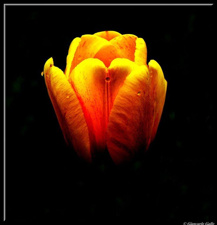 Tulip by Giancarlo Gallo