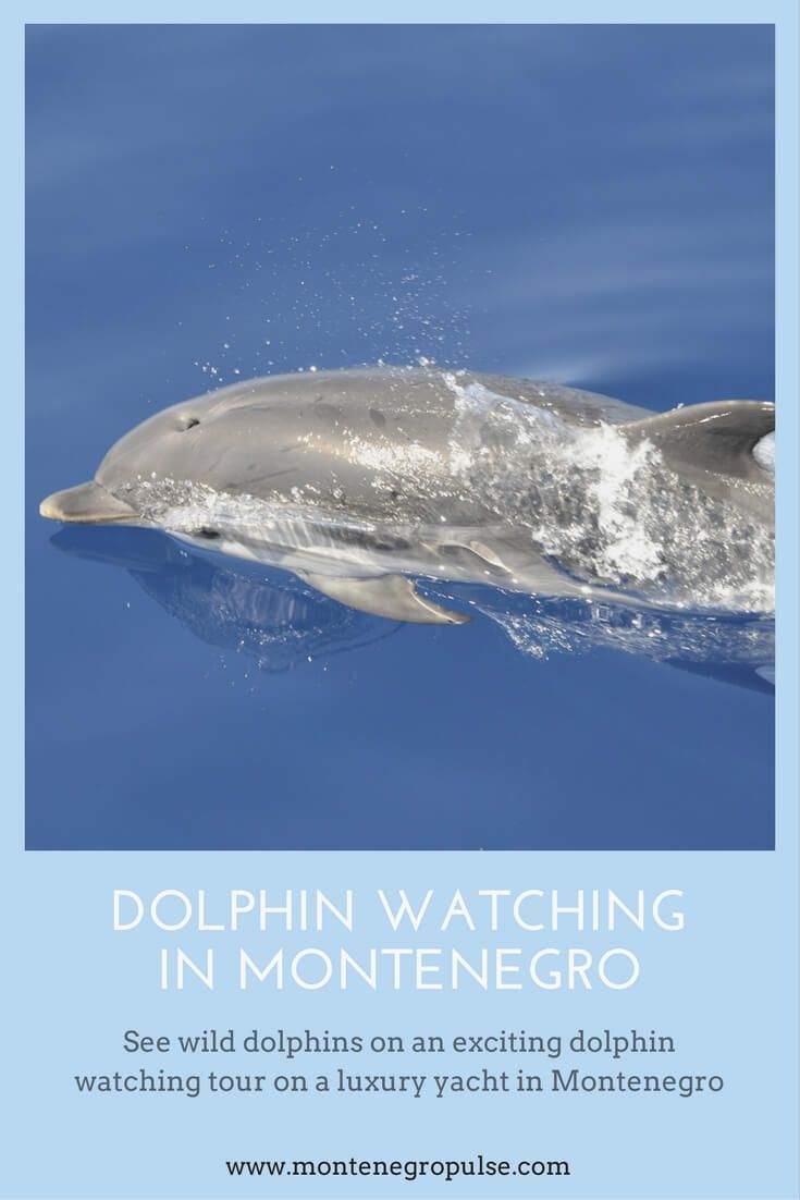 Go dolphin watching in Montenegro on a luxury sailing yacht. Get a unique view of Kotor Bay and explore the marine life of the Adriatic Sea.