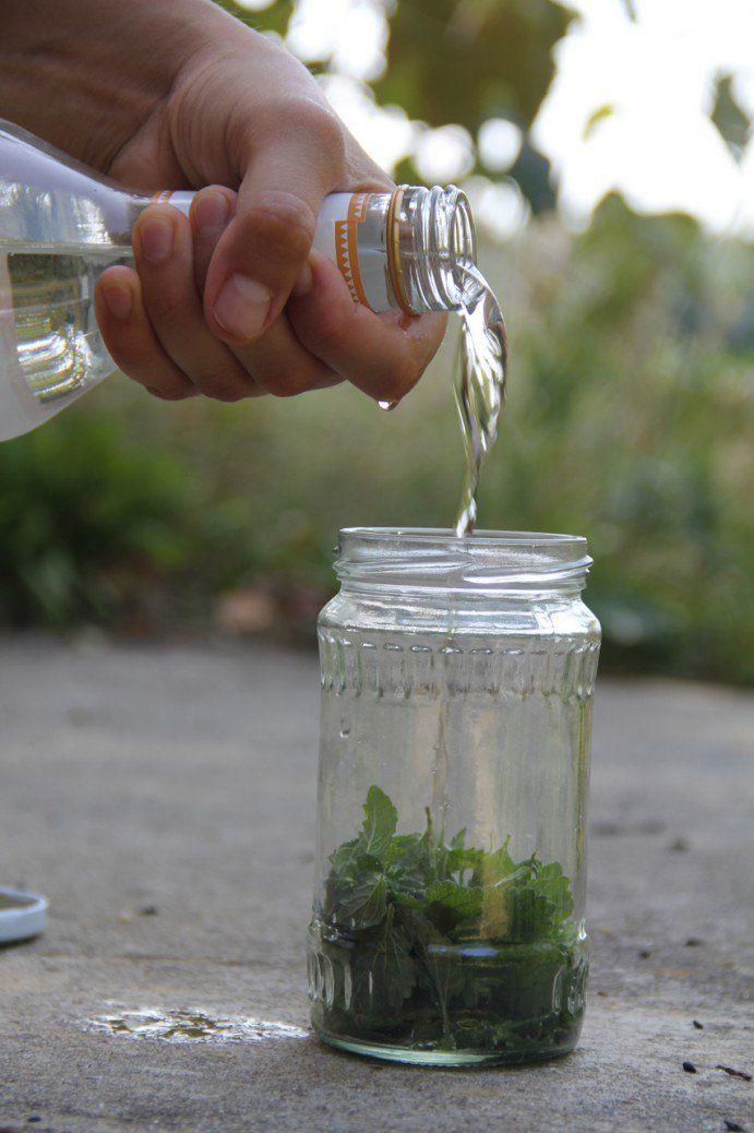 Bild von Melissenblättern im Schraubglas, die mit Kornbrand aufgegossen werden.