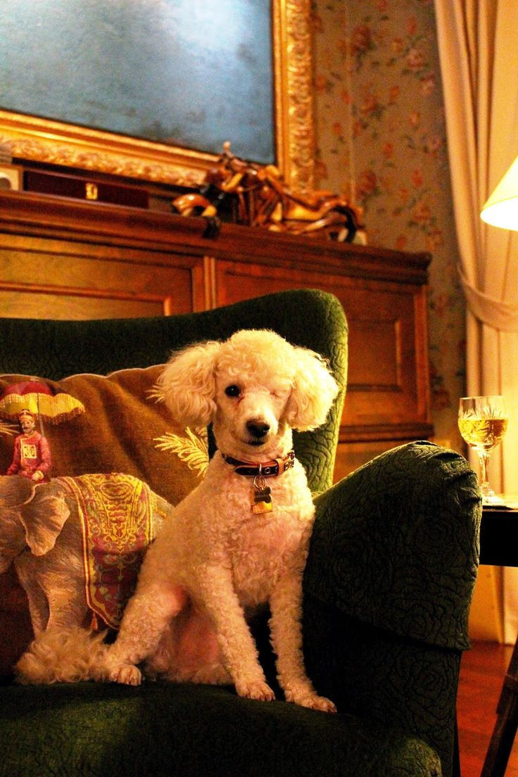 Tobbe the Poodle <3