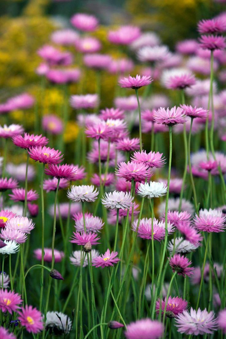 Everlasting daisies (Rhodanthe chlorocephala subspecies rosea)