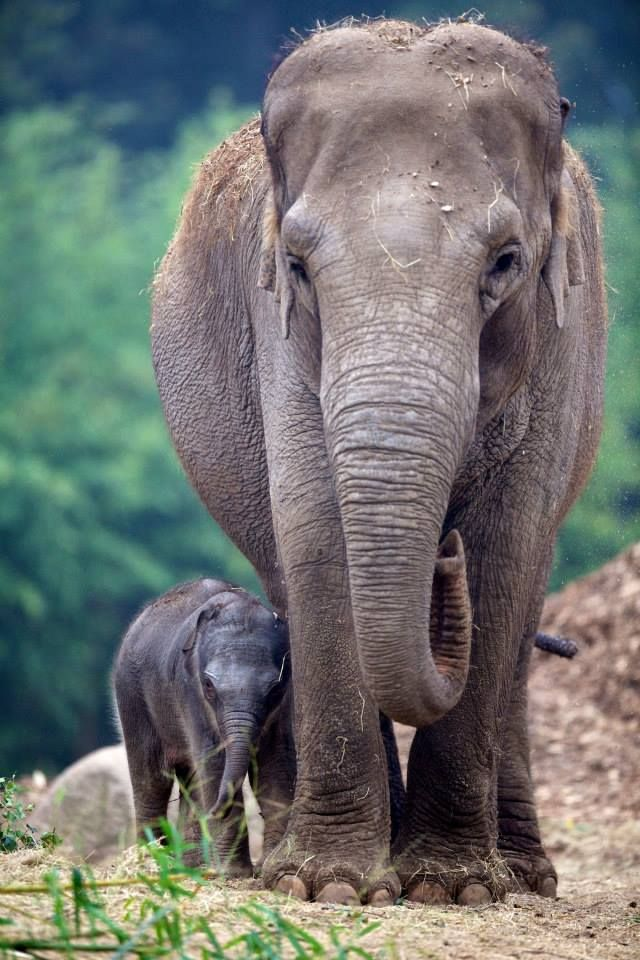 There is even more good news from Dublin Zoo with the announcement of the arrival of a third Asian Elephant calf! The healthy female calf was born to mother Bernhardine at 11.45 pm on September 17th, weighing in at 68kg (150 lbs).