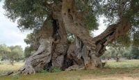 Xylella, abbattuti alberi secolari