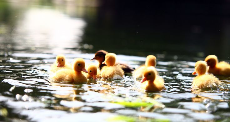 Ducklings | Credit: James Appleton