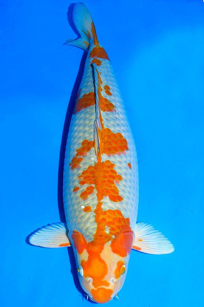 Les 25 meilleures id es de la cat gorie ochiba koi sur for Poisson rouge koi aquarium
