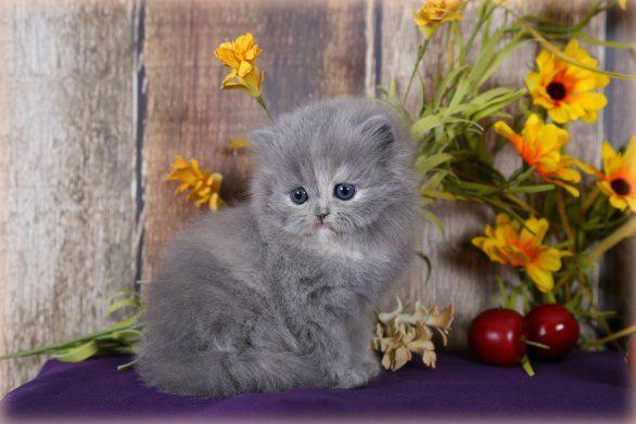 Blue Cream Teacup Persian Kitten