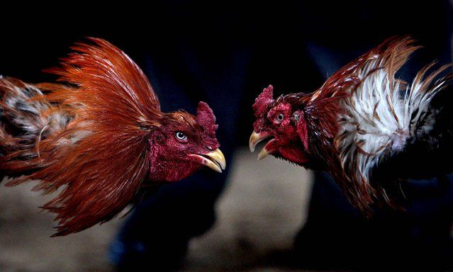 "Roosters duel during a cockfighting match in Kabul. Cockfighting, known as ""Murgh Janghi"" In the Afghan Dari language, is a popular game among Afghans during the winter season. The heels and bills of the birds are sharpened before fights, which run around 4-6 rounds with each round lasting between 10 to 20 minutes with a gap of 5 minutes in between bouts. Some $2,000 to $4,000 can exchange hands among spectators placing bets during these fights…"