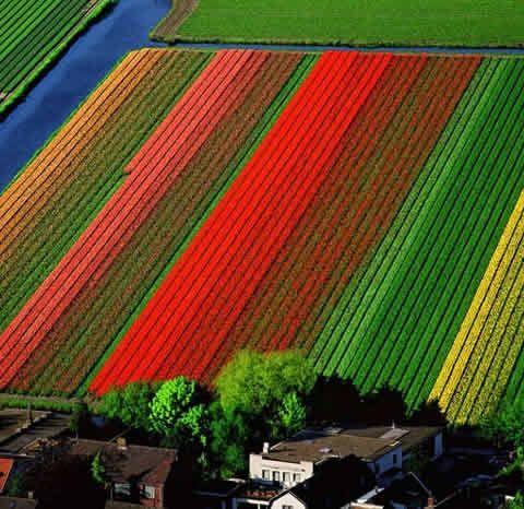 tulip fields - Google Search
