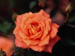 Rose Petal Tea Recipe and Benefits of Rose Petal Tea