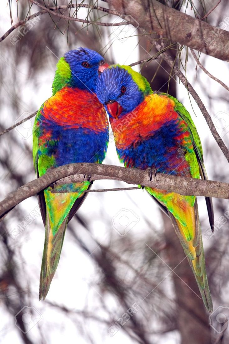 Image result for Australian parrots