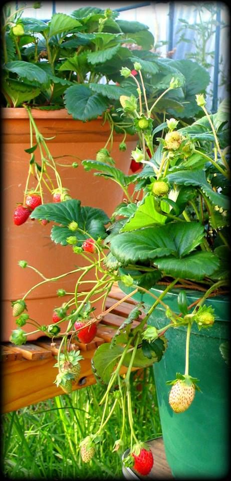 Strawberries going CRAZY!! And they've lasted through another year of winter, can't WAIT to see what they do this time next year. :)