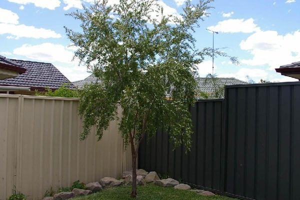 Leptospermum petersonii - front garden tree.