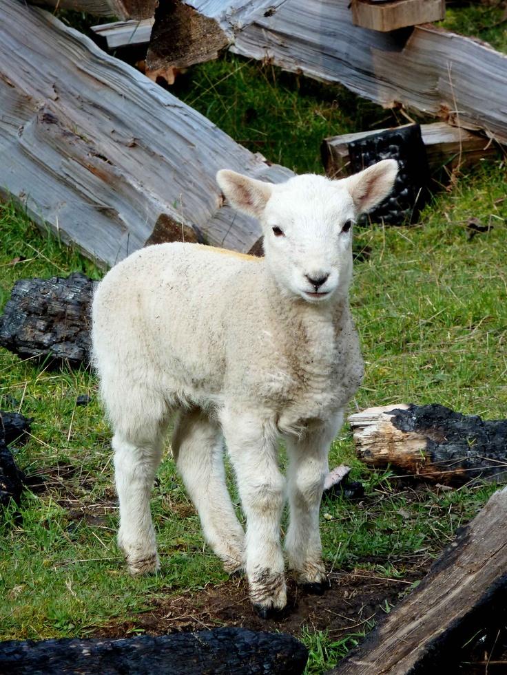 A Salt Spring Island Spring Lamb