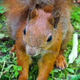 Red Squirrel / 500px