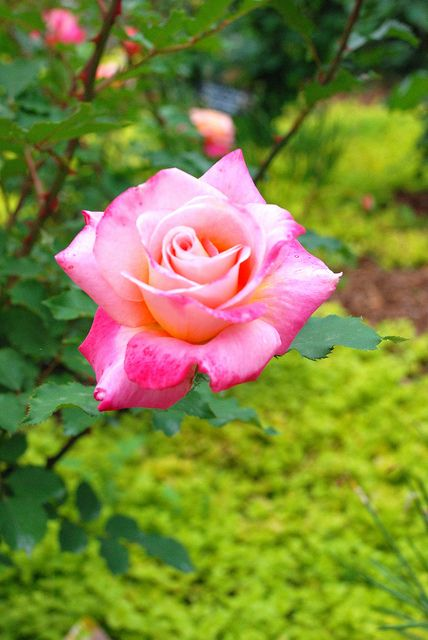 32 best Kathrine Dulin Folger Rose Garden images on Pinterest ...