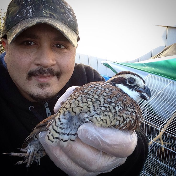 (Male Bob White Quail) YES FLY SHORTH FLY. & VERY FAST BIRD https://www.bdfarm.com B & D Game Farm https://en.m.wikipedia.org/wiki/Northern_bobwhite Order 4 Bob White Quail 3-female 1-male-White-Marking On Head  4 Young Quail's Born 2016 Order Month's Ago. Order 24 & 3 Free Quail Egg's http://youtu.be/SWbsncr7H0I No Hatch Pay Less $30 For 4 Bird & Over $30 For Shipping Send Two Day Shipping Unite State Post Office Send On Monday 11/7 & Deliver On Wensday 11/9 To City Cohoes,N.Y. Post Office…
