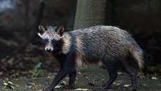 12 Surprising Facts About Raccoon Dogs