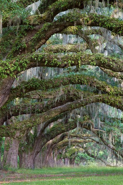 Aren't those old, Spanish moss draped live oaks great? These are near Charleston SC.: