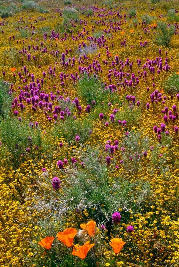 spring wildflowers in antelope - photo #30