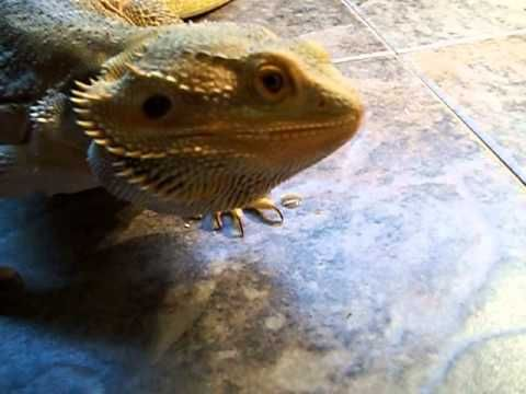 Havoc Eating Hornworms 02 04 2013