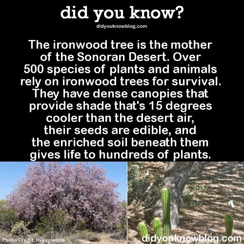 The ironwood tree is the mother of the Sonoran Desert. Over 500 species of plants and animals rely on ironwood trees for survival. They have dense canopies that provide shade that's 15 degrees cooler than the desert air, their seeds are edible, and the enriched soil beneath them gives life to hundreds of plants.  Source