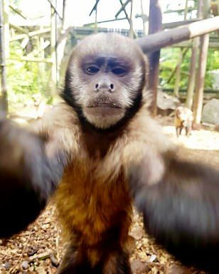 Home | Daily Mail Online Capuchin Monkey Takes a Selfie