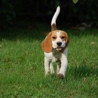 #dogalize Dog Breeds: Beagle, temperament and personality #dogs #cats #pets