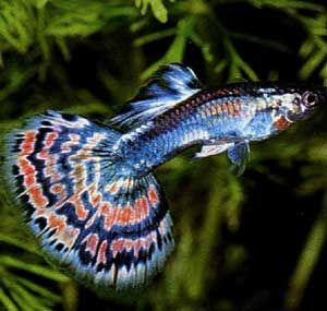 GuppyAquariums Fish, Tropicalfish, Tanks Ideas, Freshwater, Fish Tanks, Tropical Fish, Fresh Water, Fancy Guppies, Guppies Fish