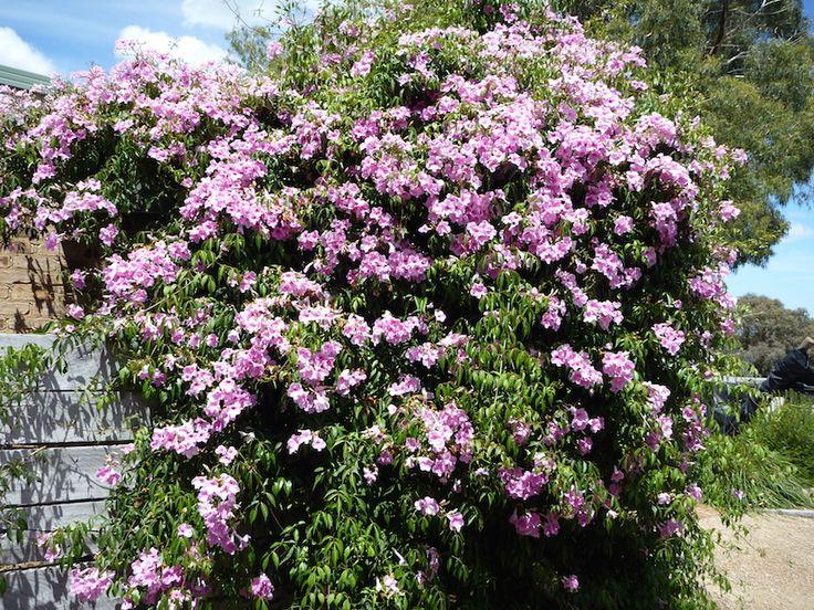 Pandorea jasminoides growing as a climber -(Pandorea jasminoides) that flowers over many months