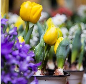 All we need to do is to wait for the blooming summer. :) #flowers #time #bologna #places #tulips #spring #summer #mood #yellow #style