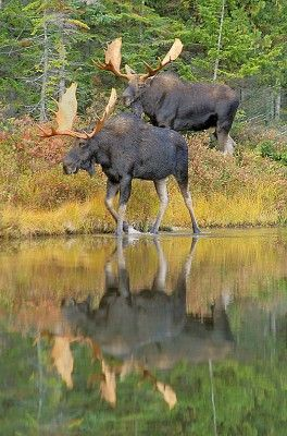 Two Bull Moose with their amazing reflections!!!!! I love moose :) Wyatt has pjs with moose on them, love.