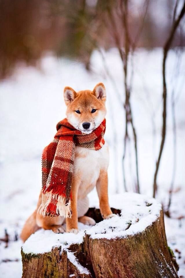 Gorgeous! Just gorgeous! Love Shiba Inus? Learn more about this breed at www.myfirstshiba.com