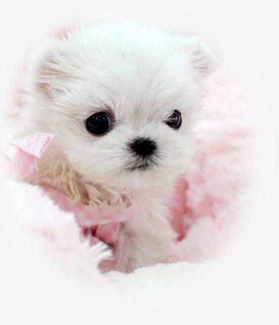 Maltese Puppies - Super Tcups