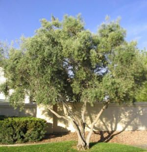 Outstanding  Best Images About Az Yards Can Be Green On Pinterest  Gardens  With Goodlooking Olive Tree Olea Europea Swan Hill With Adorable Garden Coach Fees Also Geilston Gardens In Addition Garden Of Love Benny Hill And Alnwick Gardens Weddings As Well As Garden Extensions Additionally Gardener Cardiff From Pinterestcom With   Goodlooking  Best Images About Az Yards Can Be Green On Pinterest  Gardens  With Adorable Olive Tree Olea Europea Swan Hill And Outstanding Garden Coach Fees Also Geilston Gardens In Addition Garden Of Love Benny Hill From Pinterestcom