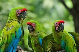 great green macaw - Google zoeken
