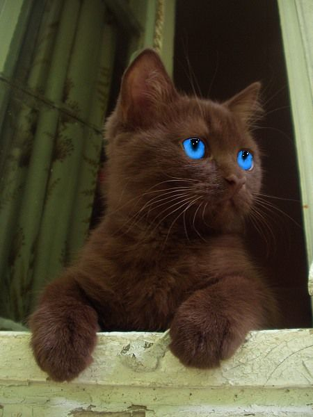 mystical blue eyes   Brown Cat with Bright Blue Eyes