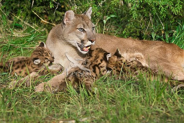 mountain park cougars dating site Eastern cougar sightings how common are mountain lions in new york eastern cougars (mountain lions) do not have a native, self sustaining population in new york state.