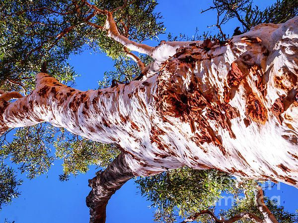 Ghost Gum Tree. Australian Tree Bark Series by Lexa Harpell. A collection of Aussie tree bark images. Taken from my travels around Australia. Add a splash of COLOUR and UNIQUE LOOK! Visit my photo gallery and get a beautiful Fine Art Print, Canvas Print, Metal or Acrylic Print OR Home Decor products. 30 days money back guarantee on every purchase so don't hesitate to add some AUSTRALIAN INTIMACY in your home.