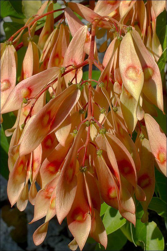 Ailanthus-altissima_567-850_6: