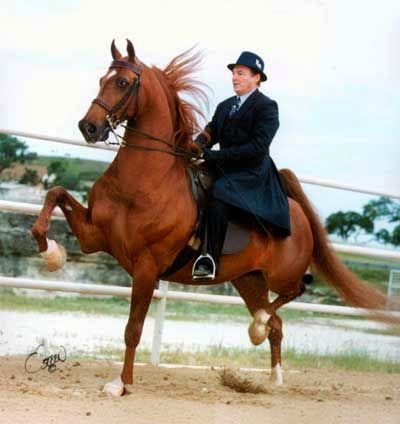 American Saddlebred stallion Revival was sired by WGC Sultan's Santana.