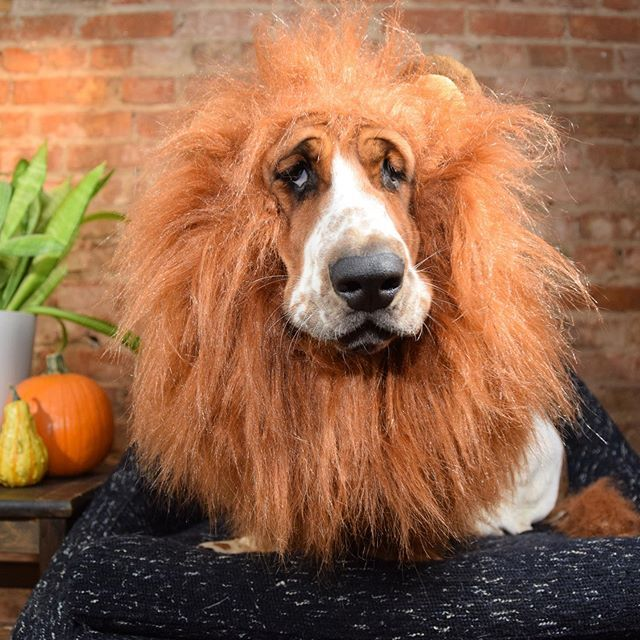 Throw Back To The Most Epic Halloween Costume Ever Basset Lion Basset Beagle Dog Hound Dog