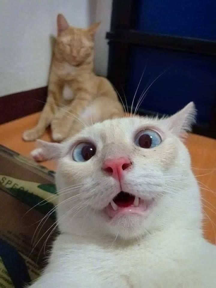 Funny Cats Pictures To Make You Laugh Out Loud Funny Cat Faces