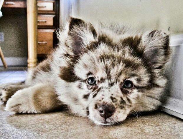 Pomeranian/Mini Australian Shepherd puppy WOW what a beautiful dog